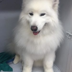 Rasta(Samoyed) comes every months to be groomed